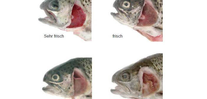 frischer Fisch Augen und Kiemen