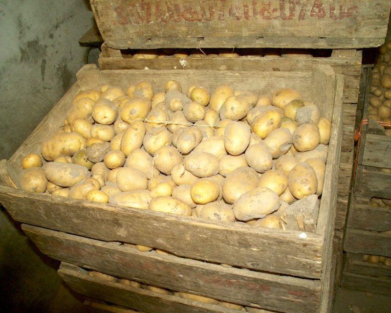 Fabelhaft Kartoffeln kaufen: gute Kartoffeln erkennen und richtig lagern @ZC_91